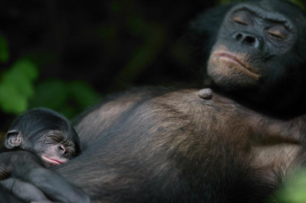 Buonanotte Da Mamma Scimmia E Figlio